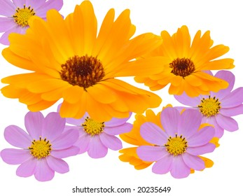Flowers of a chamomile