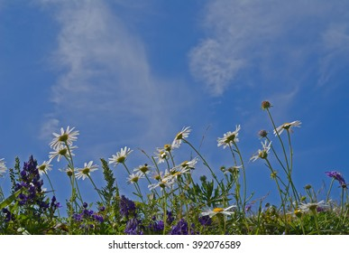 The flowers of chamomile and cloudy sky.