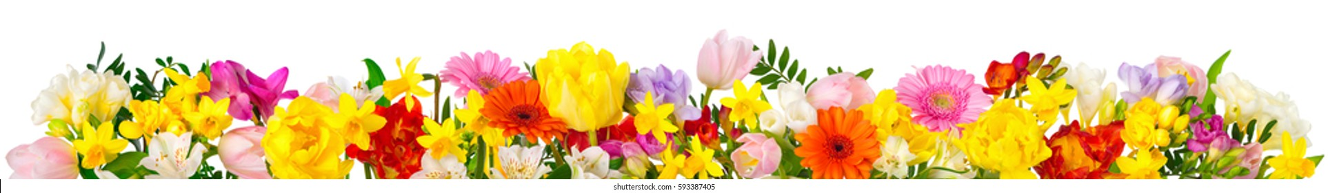 Flowers in cheerful colors, studio isolated on white, in banner format or as a seasonal natural border for spring and summer