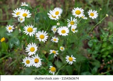 Flowers of a chemist's daisy. Vegetative background. Pharmaceutical camomile; horse gowan(Matricāria chamomīlla).