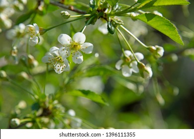 FLOWERS - cherry blossoms in garden