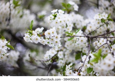 Flowers of the cherry blossoms on a spring day. Shallow depth of field