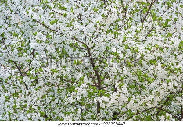 flowers-cherry-blossoms-on-spring-600w-1