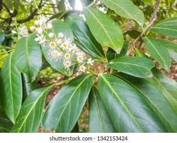 Flowers of cherry or common laurel, Prunus laudocerasus