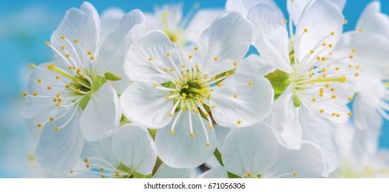 Dating asiatiska Cherry blommor