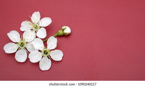 Flowers of a cherry tree (sakura) isolated on a red background