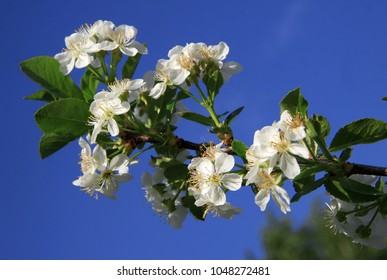 Flowers of the cherry tree in spring
