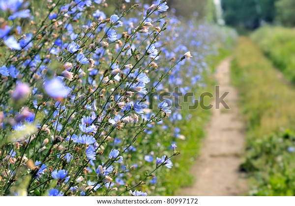 Flowers chicory. A lot of blue flowers. Shrubs chicory in the field share the road.
