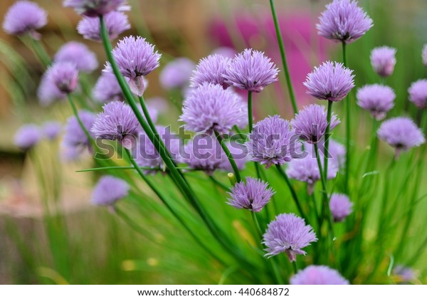 Flowers of chive in a garden
