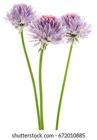 Flowers of chives on a white background