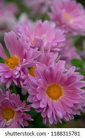 FLOWERS -  chrysanthemum