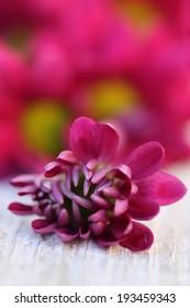 Flowers. Chrysanthemum. Chrysanthemums.