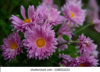 FLOWERS -  chrysanthemum on green
