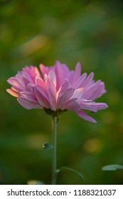 FLOWERS -  chrysanthemum in sun light