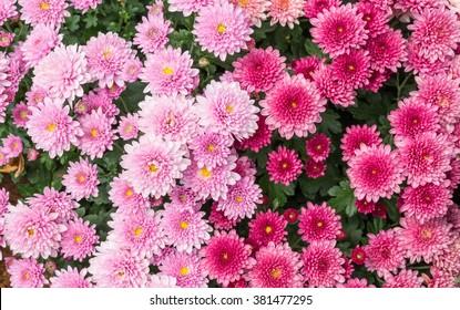 The Flowers, chrysanthemum flowers wallpaper background.