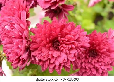 Flowers, flowers  chrysanthemum, Chrysanthemum wallpaper, chrysanthemums in autumn, chrysanthemums annuals, chrysanthemum pictures, chrysanthemum pictures, chrysanthemum photos,
