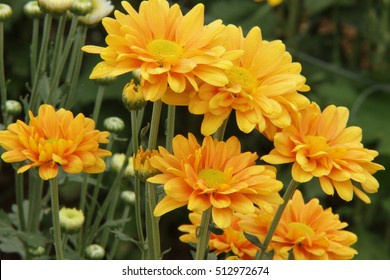 Flowers, flowers chrysanthemum, Chrysanthemum wallpaper, chrysanthemums in autumn, chrysanthemums annuals, chrysanthemum pictures, chrysanthemum pictures, chrysanthemum photos,