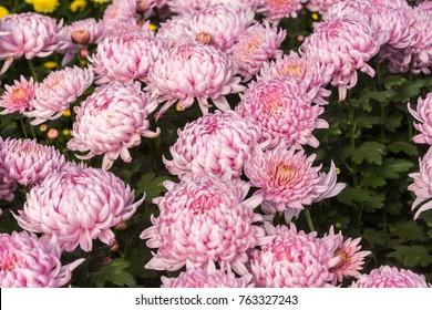 Flowers, flowers chrysanthemum, Chrysanthemum wallpaper, chrysanthemums in autumn, chrysanthemums annuals, chrysanthemum photos,