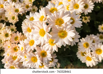 Flowers, flowers chrysanthemum, Chrysanthemum wallpaper, chrysanthemums in autumn, chrysanthemums annuals, chrysanthemum photos,