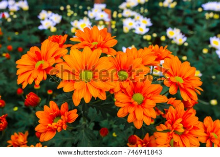 Flowers Chrysanthemum Chrysanthemum Wallpaper Chrysanthemums Autumn