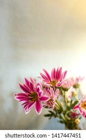 Flowers chrysanthemum,Beautiful chrysanthemum as background picture. Chrysanthemum wallpaper, chrysanthemums in autumn