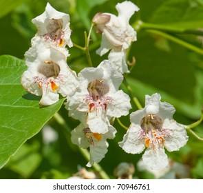 Flowers of a Cigar tree in summer, Catalpa speciosa