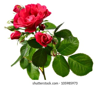 Flowers of climbing rose isolated on white background