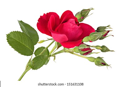 Flowers. Climbing rose isolated on a white background