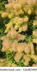 Flowers clustered in a large, open, fluffy yellowish panicles, resembling a cloud of smoke over the plant. Clusters give a smoky haze to branch tips. Flowers form ethereal clouds of pinkish yellow.