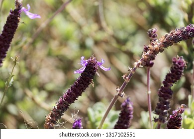 Flowers of a Coleus canina plant (Plectranthus caninus) in East Africa.