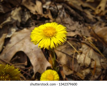 The flowers of Coltsfoot, a dandelion-like flower in the Asteraceae family, which is the daisy family. Coltsfoot is used in traditional medicine to treat bronchitis, asthma, and other lung problems.