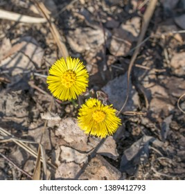 Flowers coltsfoot. The first sprouts of the coltsfoot plant, peeking out of the dry grass.