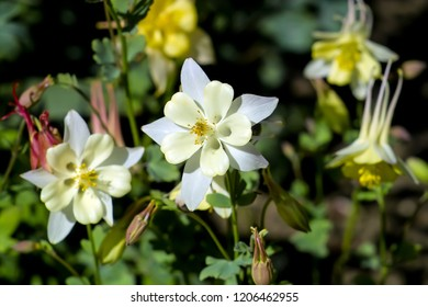 Flowers of the Columbine, Aquilegia, blossom in early summer, Bavaria, Germany, Europe