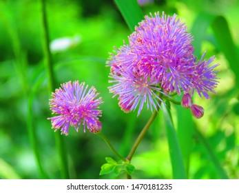 flowers of columbine meadow rue, Thalictrum aquilegiifolium,