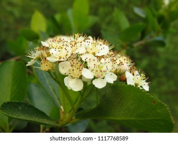 flowers of common aronia, Aronia melanocarpa,