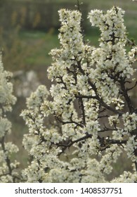 flowers of common blackthorn, Prunus spinosa,