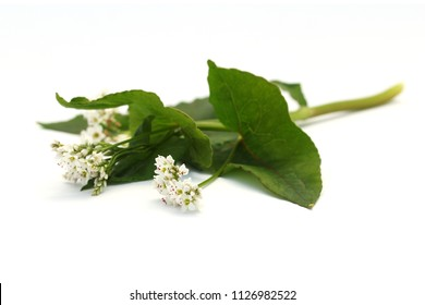 Flowers of common buckwheat (Fagopyrum esculentum) isolated on white.