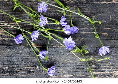 Flowers of the Common Chicory - Cichorium intybus-on a dark wooden background
