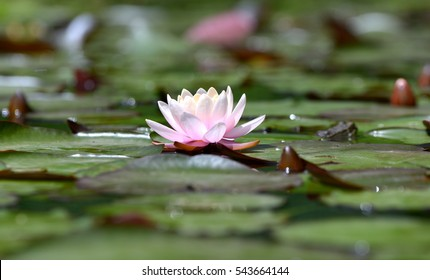 flowers Common Frog on large green lilly pad/Frog/Frog (Rana Temporaria)