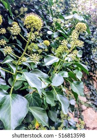Flowers of common ivy Hedera helix growing on a stone wall