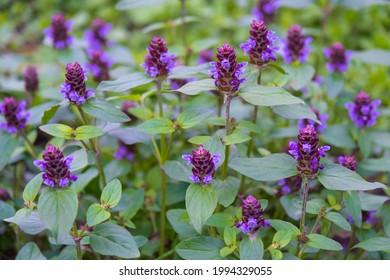 Flowers of a Common Selfheal  (Prunella vulgaris)
