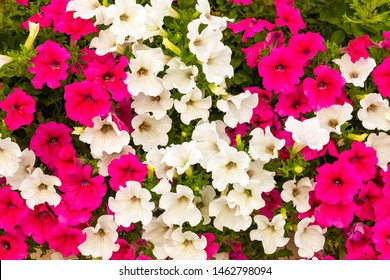 The flowers convolvulus arvensis closeup. Natural background.