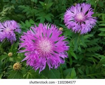 Flowers of cornflower
