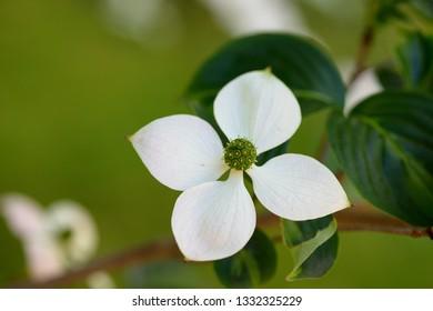 Flowers of Cornus kousa (also Benthamidia kousa), the Kousa dogwood, small deciduous tree