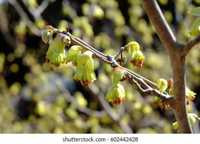 Flowers of Corylopsis spicata (Spike winter hazel, or Tosamizuki in Japanese)