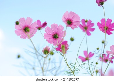 flowers cosmos flowers wall green nature background fresh wallpaper