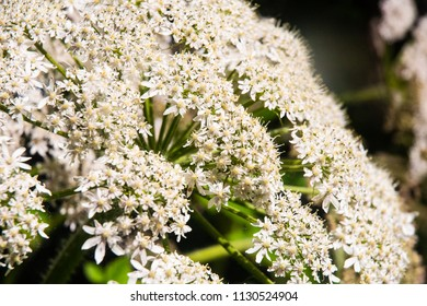 Flowers of the cow parsnip plant.
