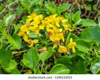 Flowers of creeping groundsel or Cape ivy, Senecio angulatus, growing in Arousa Island, Galicia, Spain
