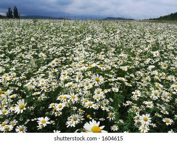 flowers in Crimea
