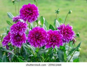 Dahlia Flower Images Stock Photos Vectors Shutterstock